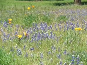 Wild flowers along south fork of Merced River