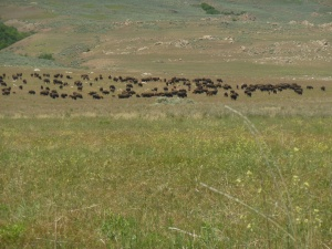 Bison, a herd of 500 to 700 is on the island
