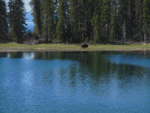 Bison on storm point walk