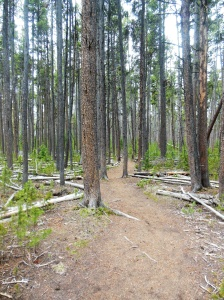 Lodgepole pines  in the forest