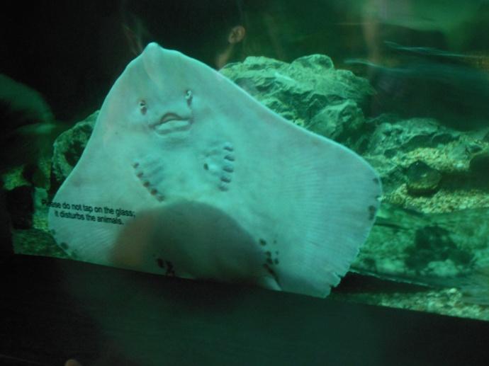 Skate ray