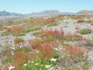 Wildflowers in MSH national volcanic monument area