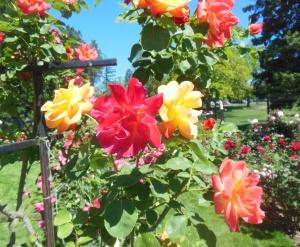 Joseph's coat roses