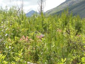 Wildflowers along Stanley Glacier trail