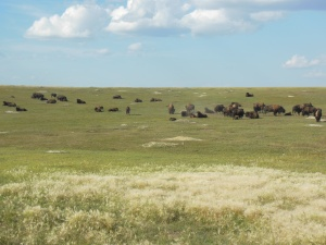 Part of the bison herd at Roosevelt national park