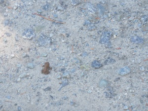 Tiny toad trying to cross the road