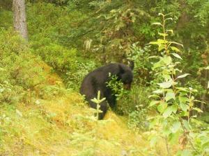 First black bear in Jasper Park