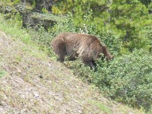 Grizzly bear in Jasper