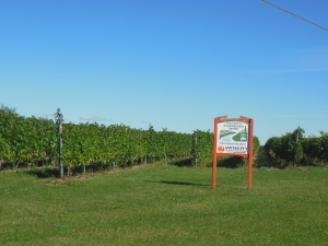 Vineyards on Old Mission Peninsula