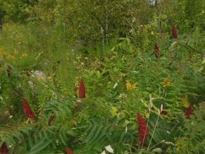 Wildflowers west of St. Ignace