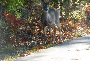 Smart deer to stay in  the NPS area.  It is still  hunting season.