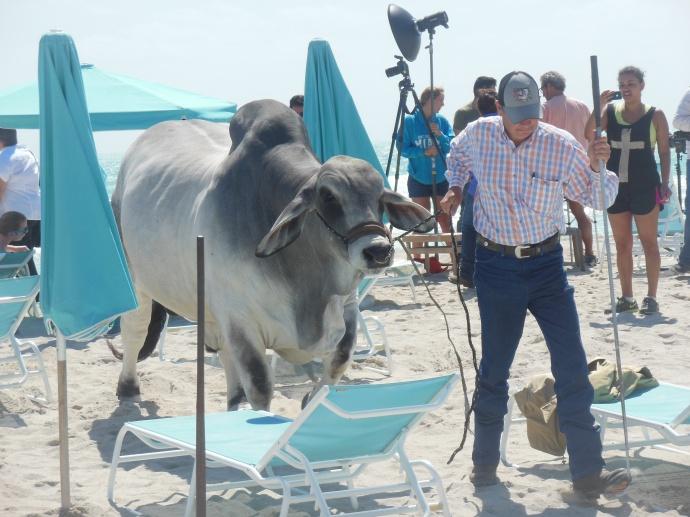 bulls on the beach