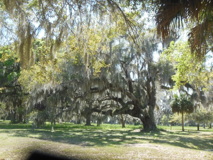 One of many  distinctive live oak trees