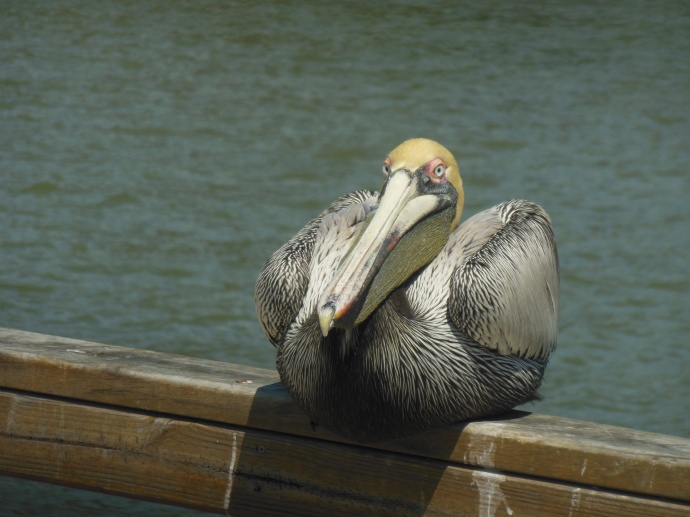 Pelican on  pier  at St. Simons Island