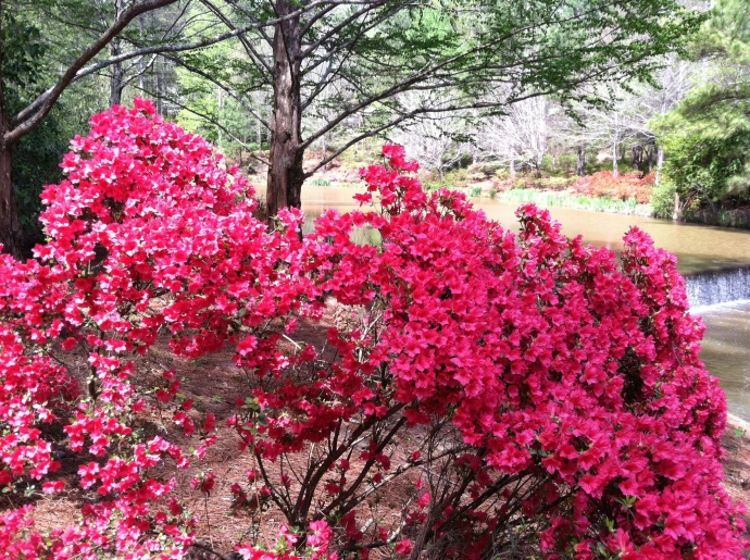 Brightly blooming azaleas