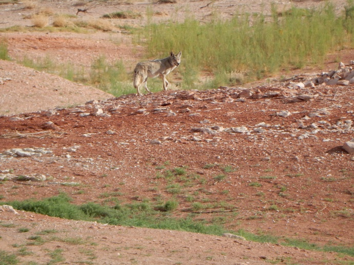 Our coyote visitor