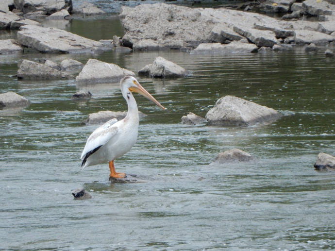 A pelican in Fox River