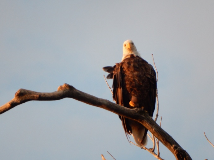 Bald Eagle on marsh tour
