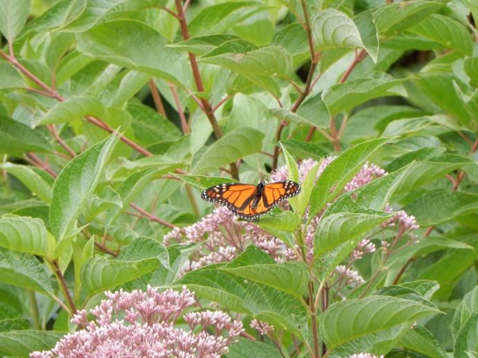 Monarch butterfly in backyard