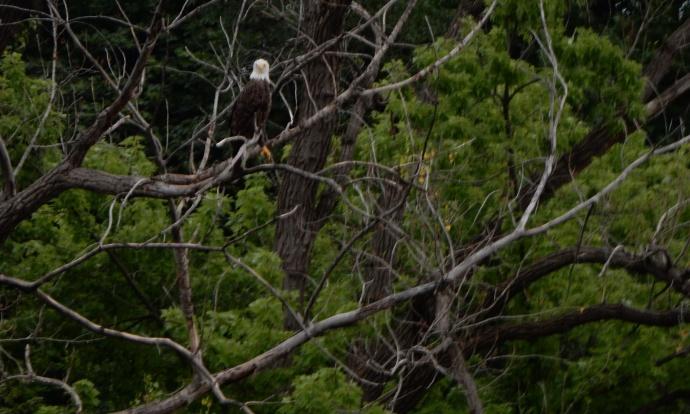 Bald eagle along the Mississippi