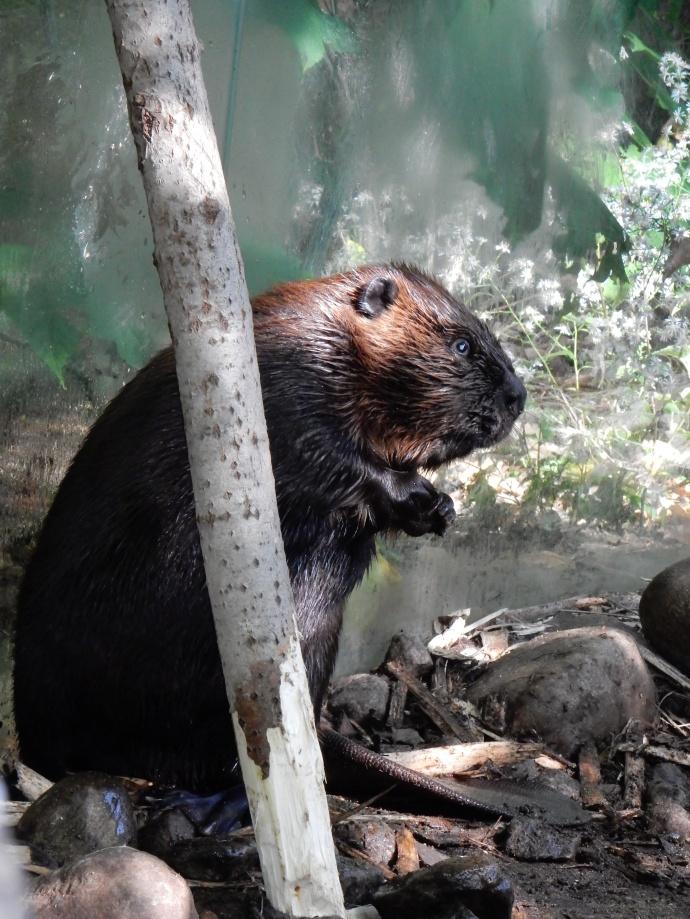 Biodome: Beaver posing for visitors