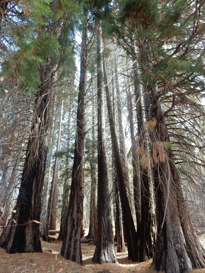Sequoia trees at Heaps Peak Arboretum