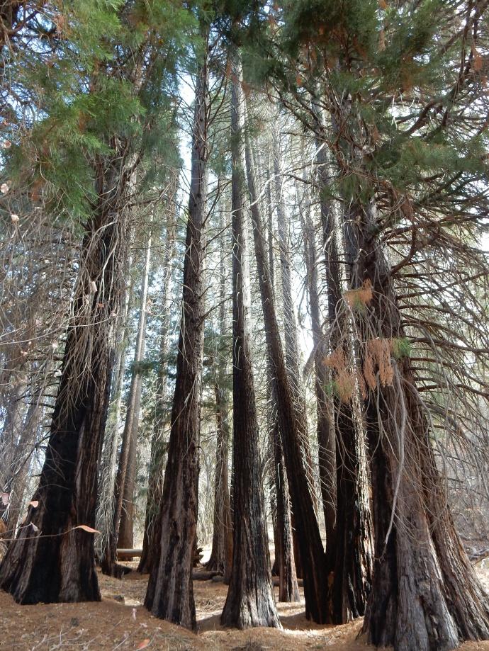 Sequoia trees at Heaps Peak Arboretum