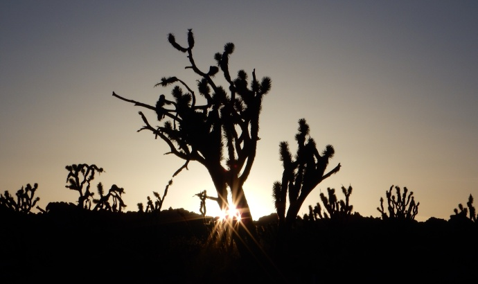 A Joshua tree at sunset