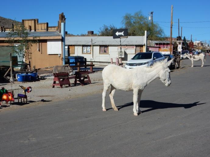 Wild burros in Oatman AZ