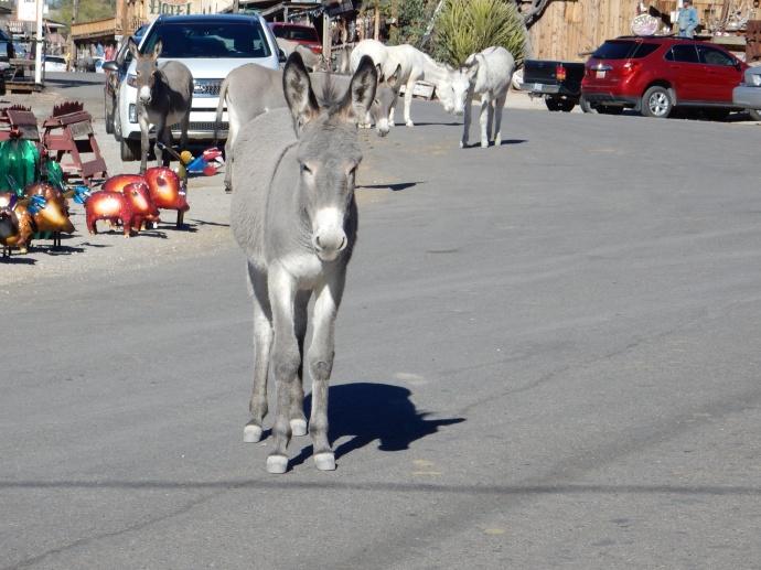 Wild burros at Oatman, AZ