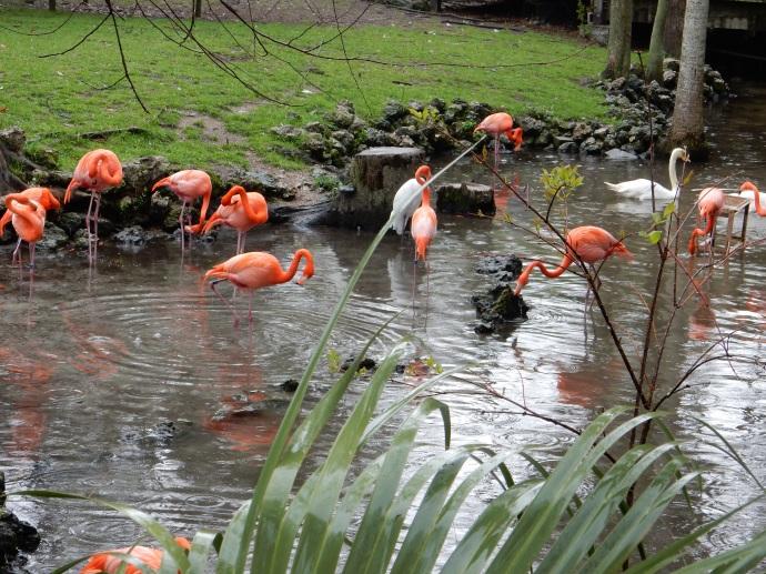 Flamingoes at Homosassa Springs