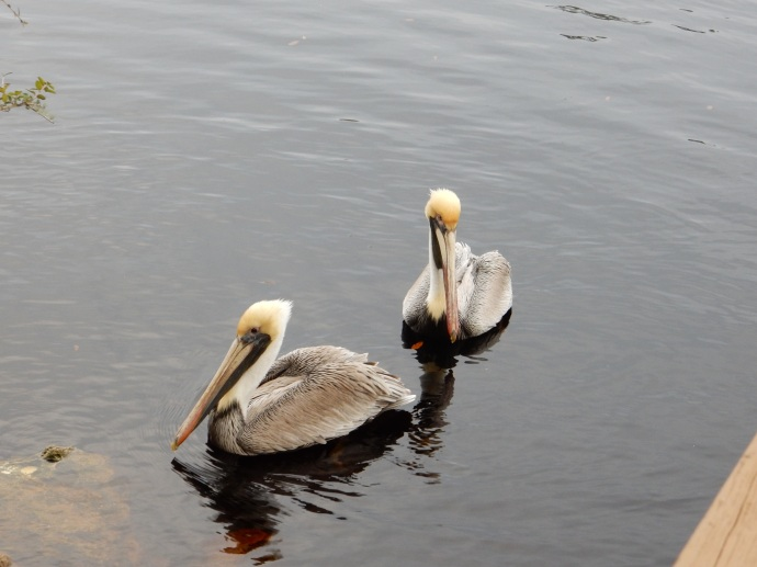 These two came flying in to greet us at Steinhatchee Landing Resort as we walked around