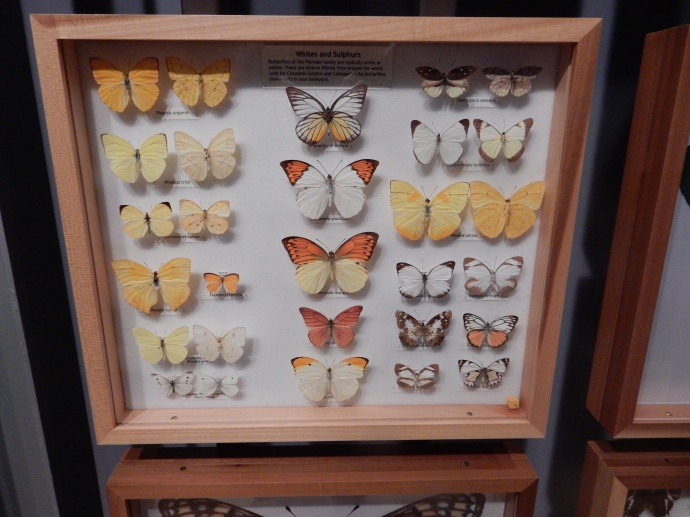 One very small portion of the butterfly specimens at tthe Museum of Natural History Gainseville