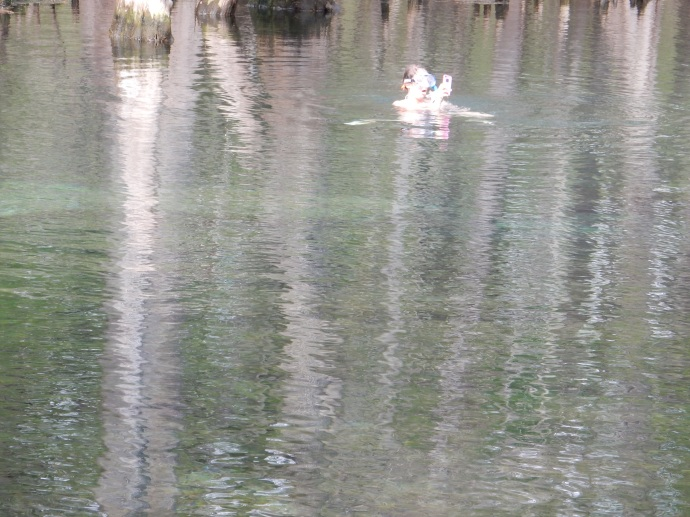 Snorkeler in Manatee Springs with two manatee