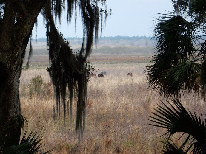 Part of the horse herd at Paynes Prairie