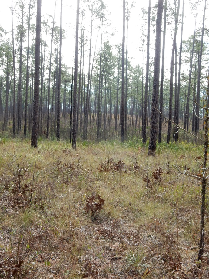 Longleaf Pine forest at Blackwater River State Park