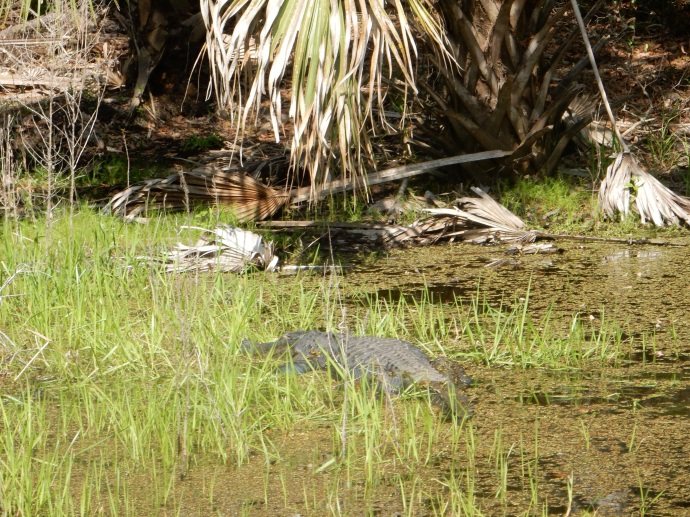 Alligator at Myakka River State Park