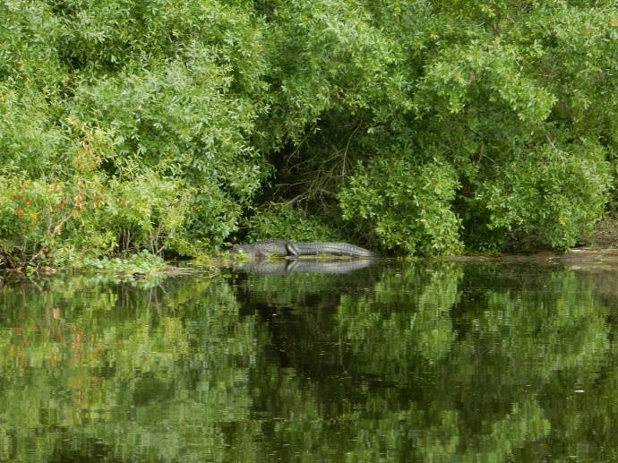 One of the alligators along Hillsborough River canoe trip