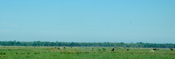 Flat Florida landscape with cattle