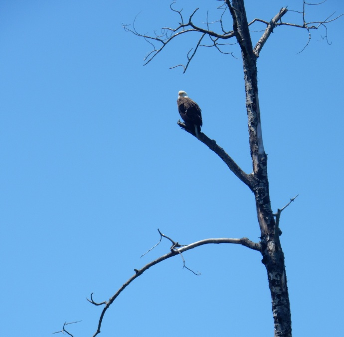 Bald Eagle along the North Shore