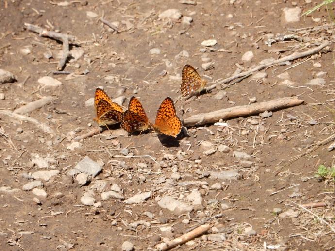 Butterflies along the trail