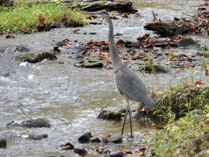 Blue heron in woods by Cades Cove