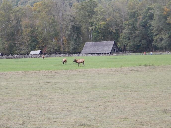 Elk near Cherokee TN