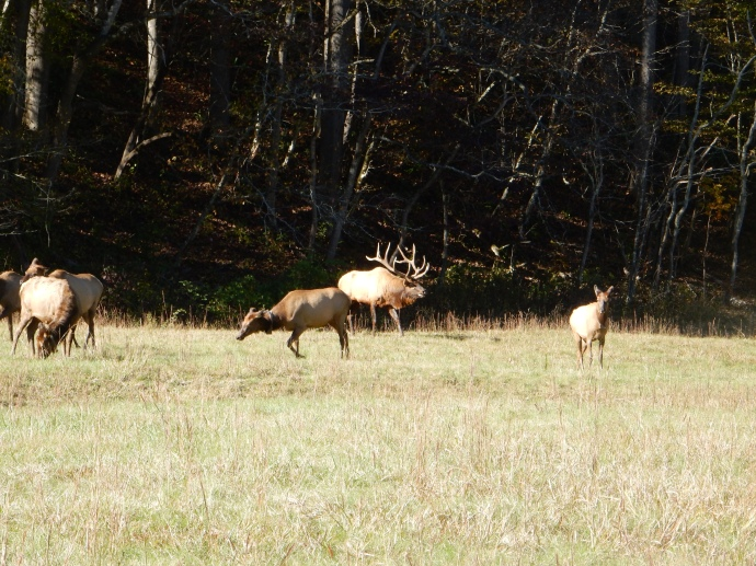Bull elk and some of his cows