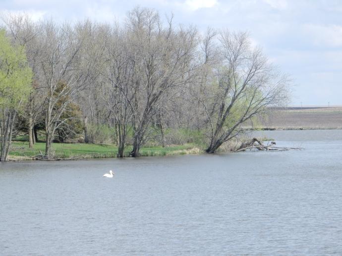 Pelican at Split Rock Creek State Park