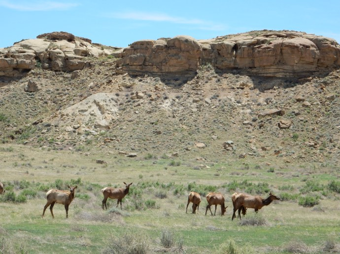 Elk herd living in the canyon