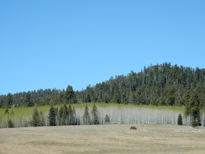 Showing new growth in Kaibab Forest