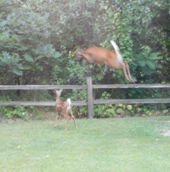 Doe and fawn leaping fence at out cabin in Dakota MN