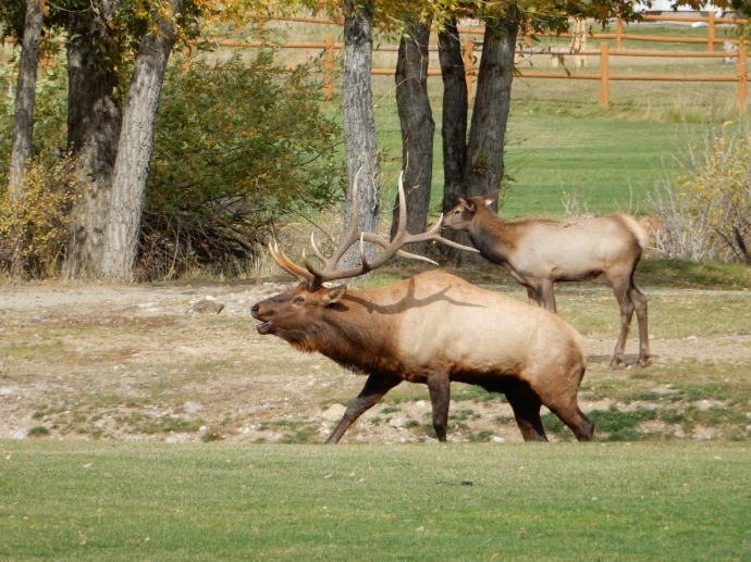 Bull elk at golf course at Lake Estes