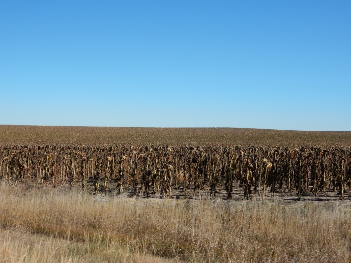 Sunflowers waiting to be harvested.